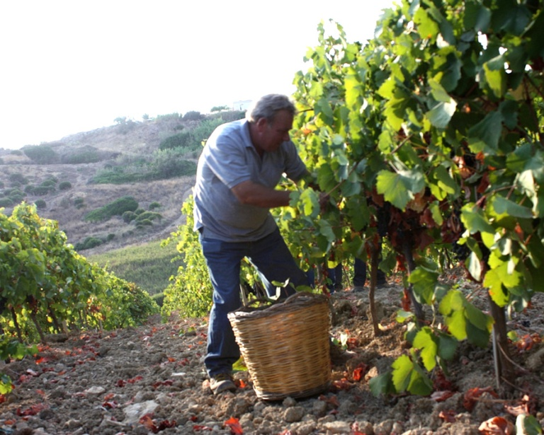 wine harvest in sicily