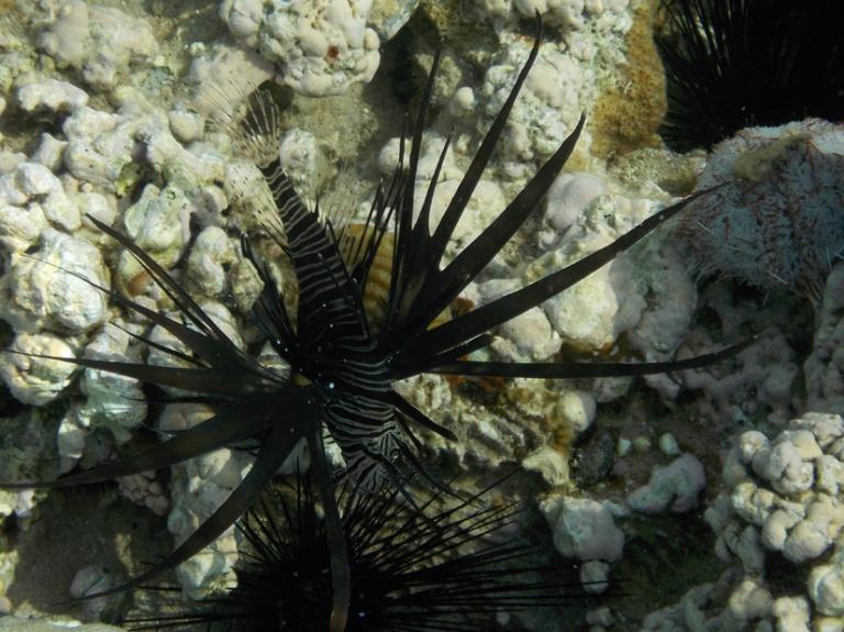 musta siipisimppi pterois miles