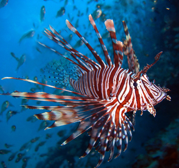 Red Lionfish Pun Siipisimppu