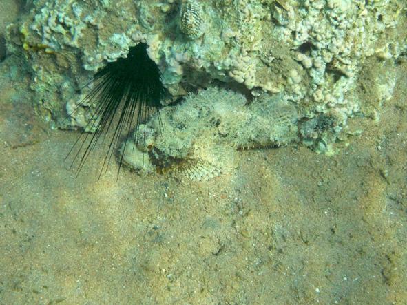 Synanceia verrucosa Velhokala Kivikala