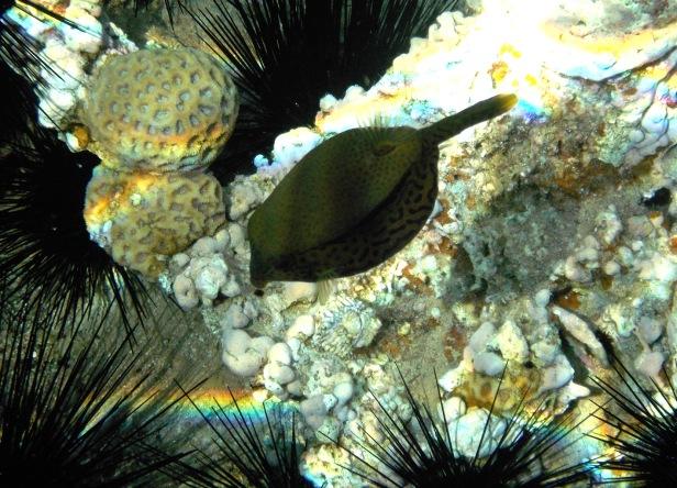 Boxfish Red Sea