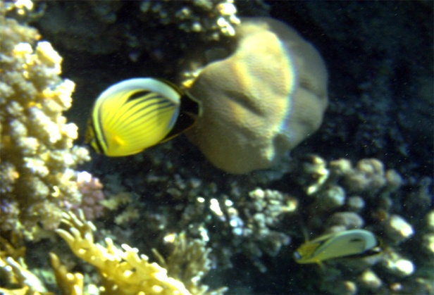 Exquisite_Blacktailed butterflyfish PG