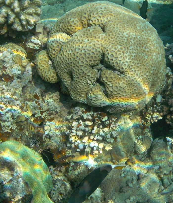 Halfmoon triggerfish and Lionfish_Ruostesäppikala ja siipisimppu