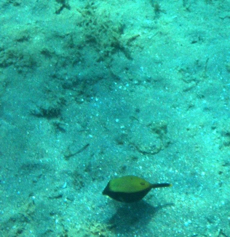 Ostracion Cyanurus_Arabian boxfish