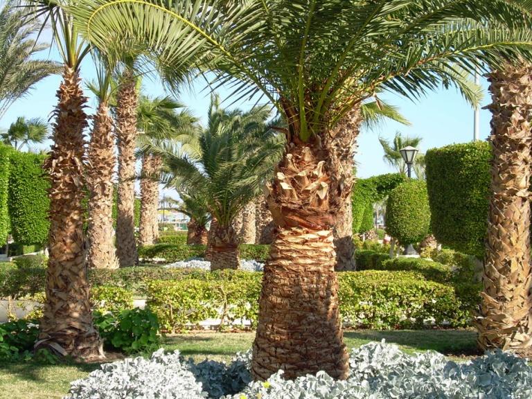 Paljon palmuja