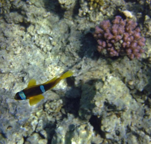 Red Sea Anemonefish Amphiprion bicinctus