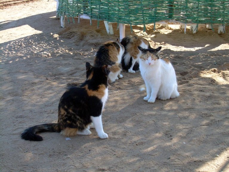 Street and beach cats at Hurghada