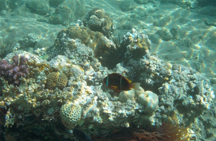The Red Sea Clownfish_Anemonefish_Amphiprion bicinctus