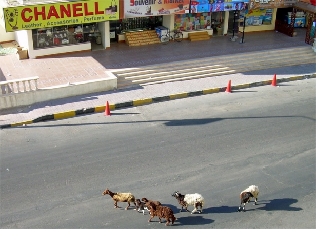 sheep or goats on the street_Chanell