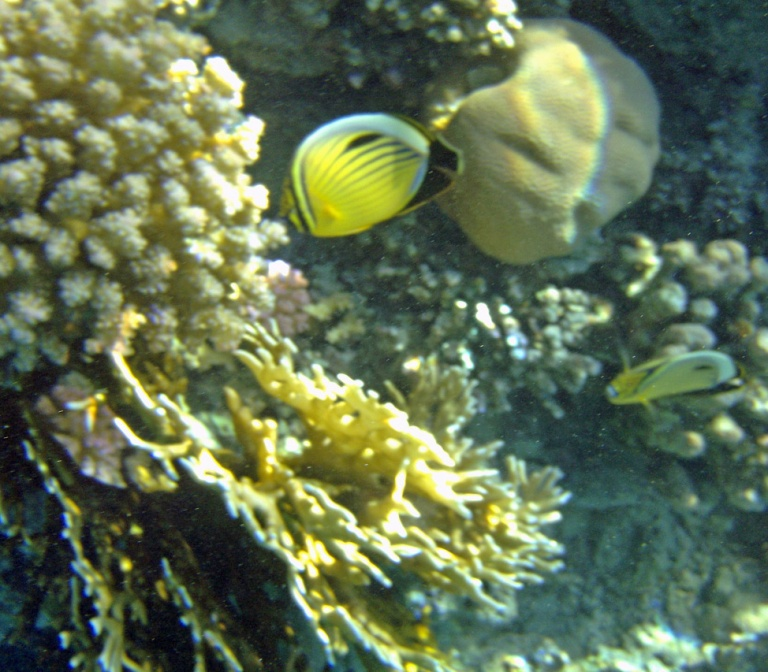 Exquisite (Blacktailed) butterflyfish_2