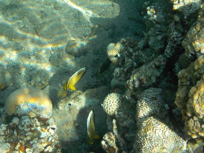 Butterfly_Half and half chromis_Fiveline cardinal_Unicorn and more