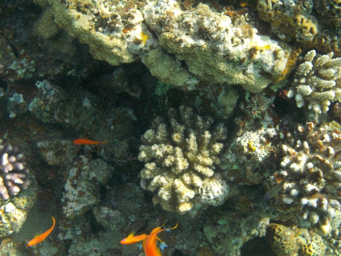 Cardinal fish and corals