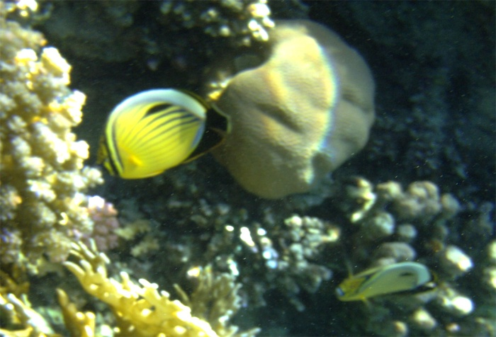 Exquisite (Blacktailed) butterflyfish