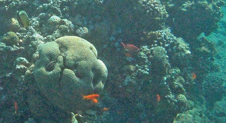 Exquisite Butterflyfish_Chaetodon austriacus_and cardinalfish_2