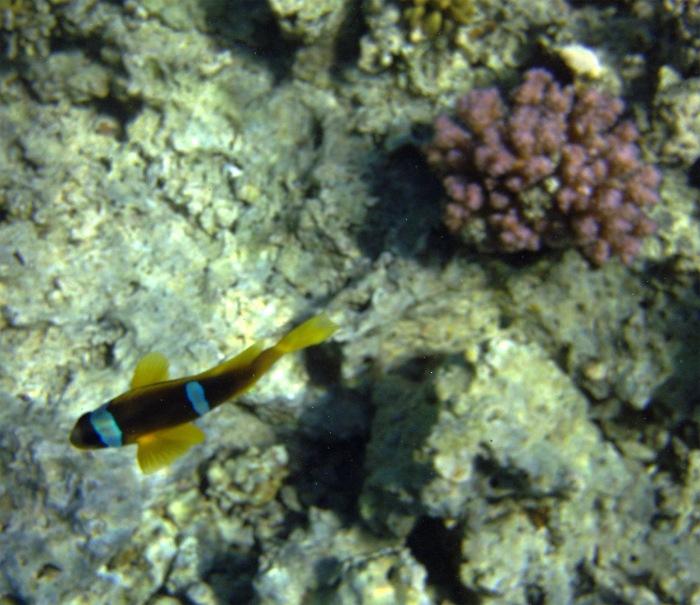 Red Sea Clownfish_2