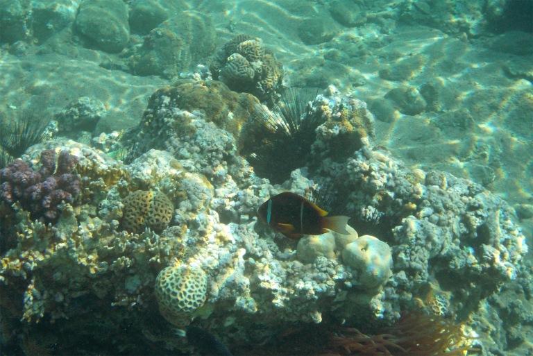 Twobar Anemone fish_3