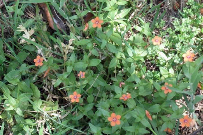 Montemagno flora_6