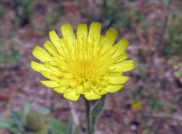 Montemagno flora_9