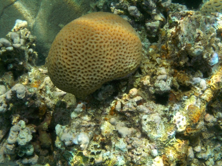 Corals in the Red Sea in Jordan