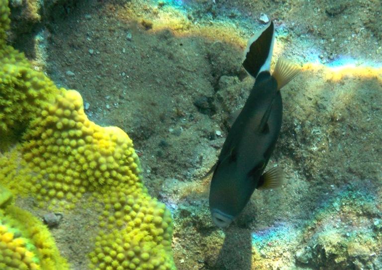 Flagtail_Halfmoon triggerfish