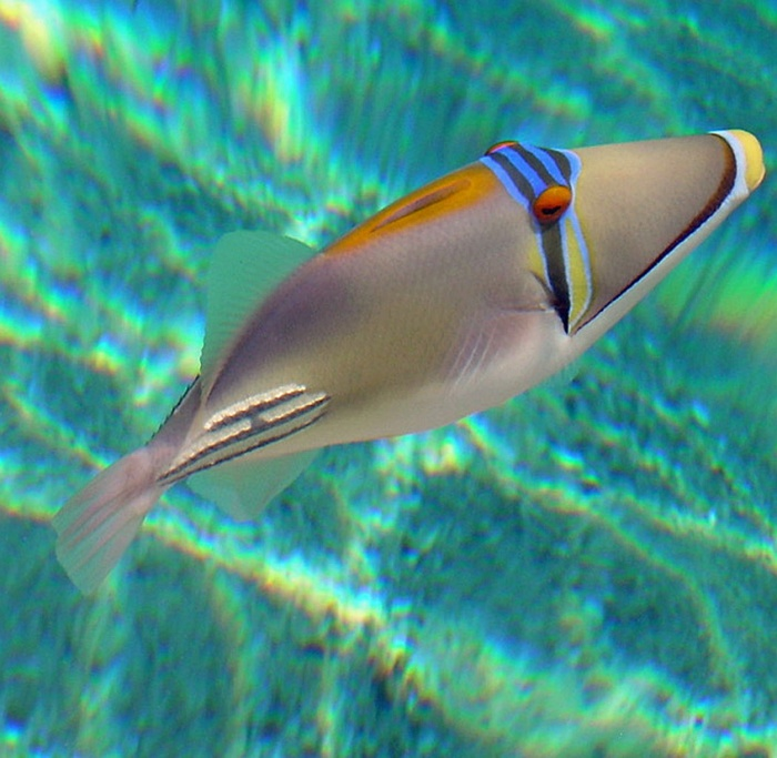 Picasso fish at Port Ghalib