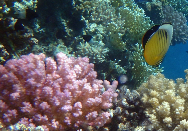 exquisite Butterflyfish and Raspberry Coral