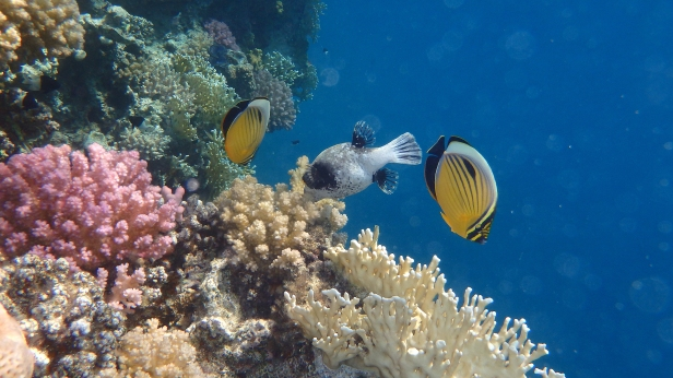 Exquisite Butterflyfish and Masked Pufferfish