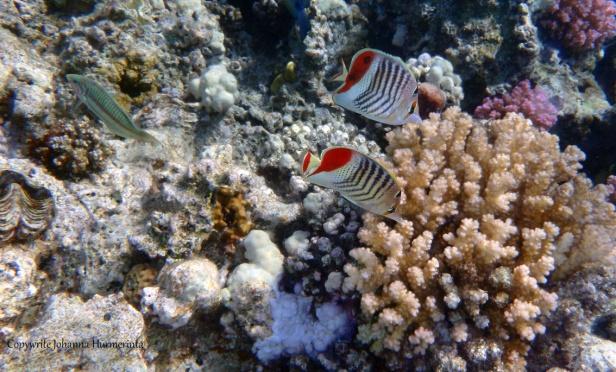 red-sea-crown-butterflyfish-and-kluntzingerwrasse_2014