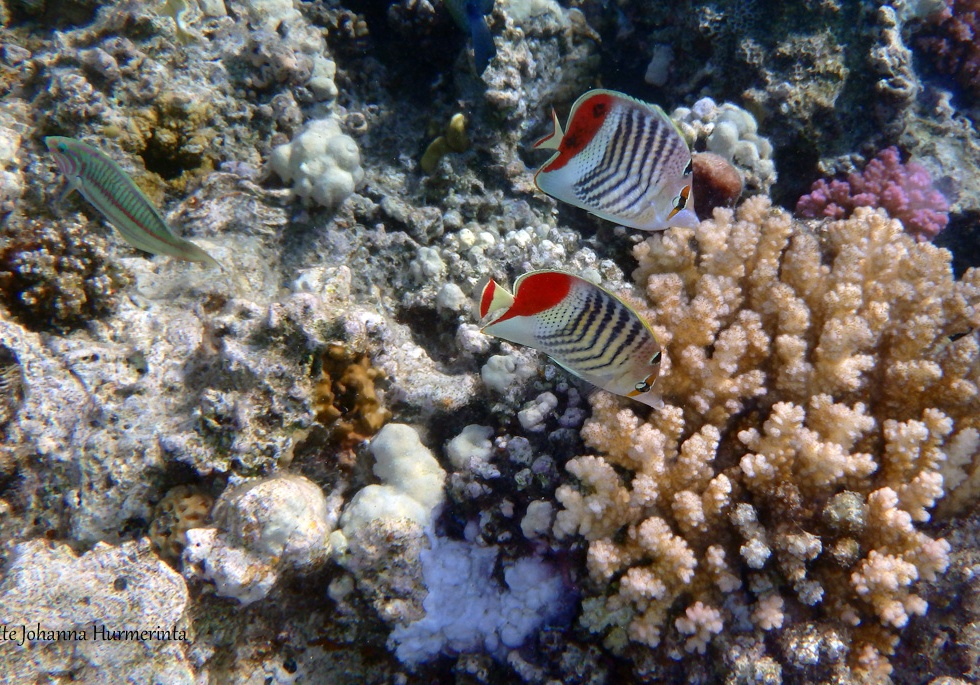 red-sea-crown-butterflyfish-and-kluntzingerwrasse_2014