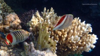 red-sea-crown-butterflyfish_2014