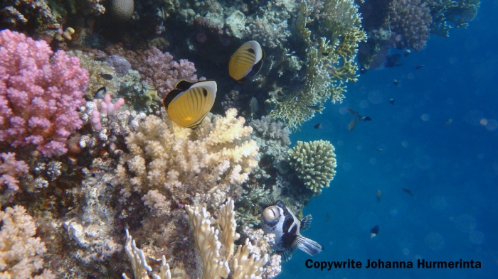 Masked Pufferfish and Exquisite Butterflyfish