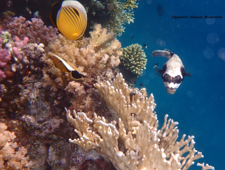 Exquisite Butterflyfish and The Masked Pufferfish
