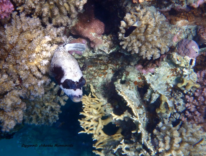 The Masked Pufferfish