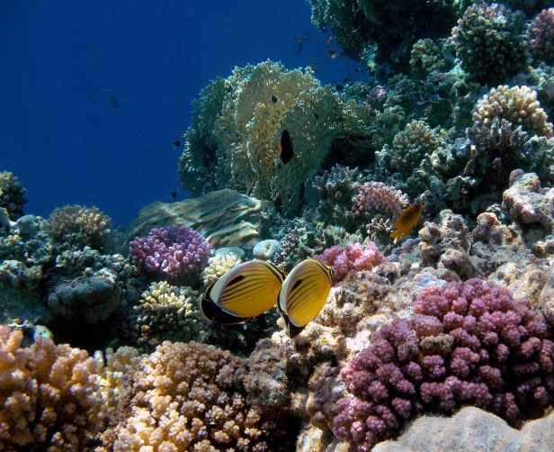 Exquisite Butterflyfish couple.jpg
