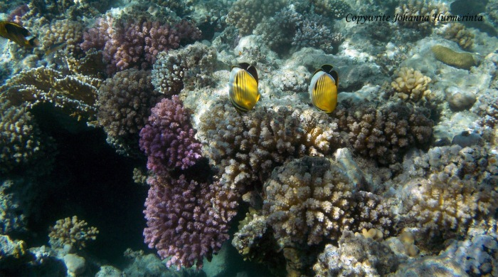 Exquisite Butterflyfish PG Egypt_blog photo