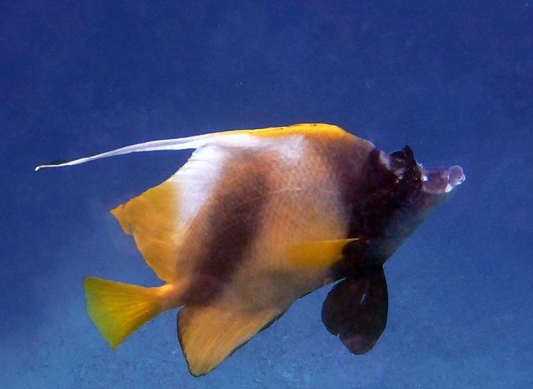 The Red Sea bannerfish (Heniochus intermedius)