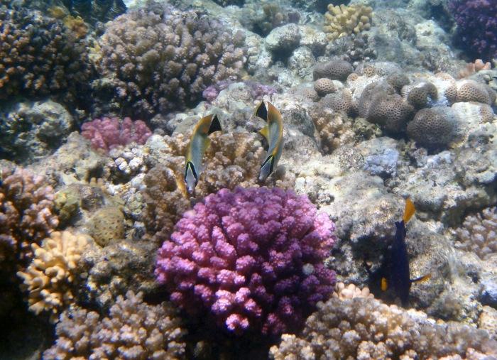 Chevron Butterflyfish PG 2015
