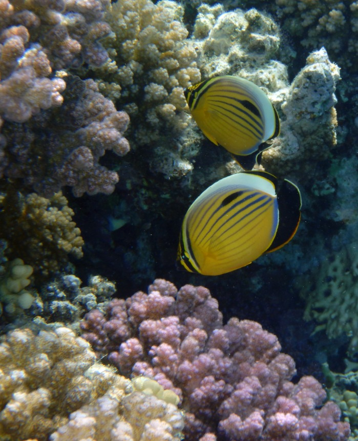 PG 2015 Exquisite Butterflyfish II