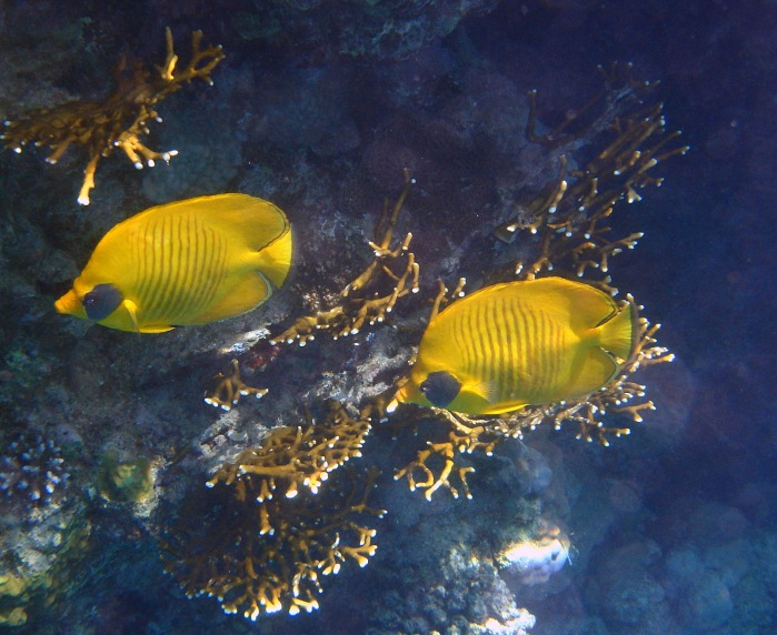 PG 2015 Masked Butterflyfish