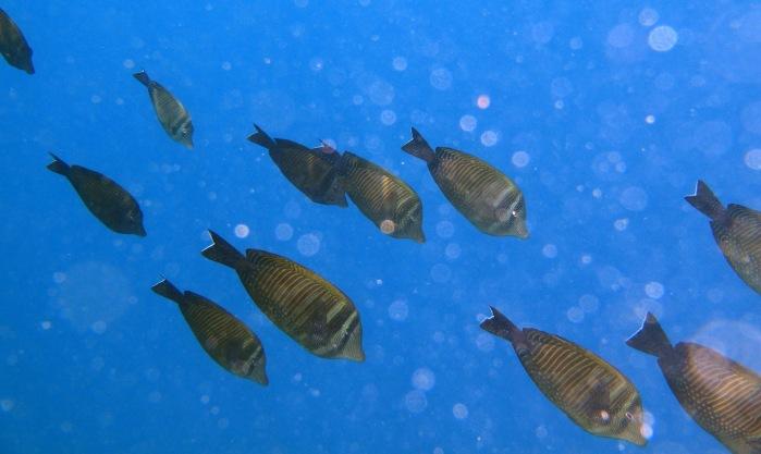 PG 2015 Sailfin Suregeonfish I