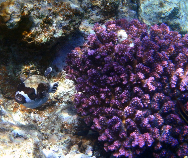 Red Sea Pufferfish and Raspberry coral