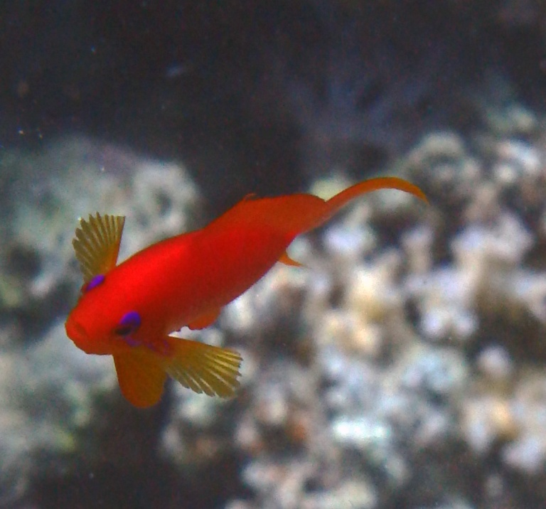 Red Sea Red Beauty