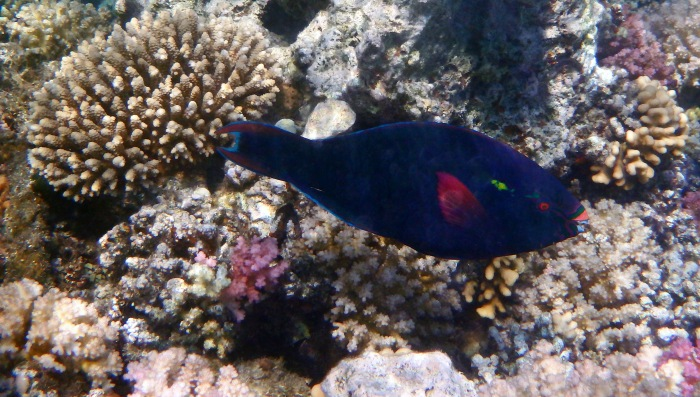 Swarthy Parrotfish in the Red Sea