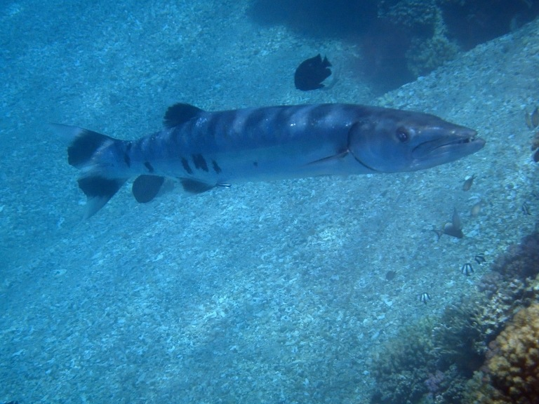 Barracuda in the Red Sea_2