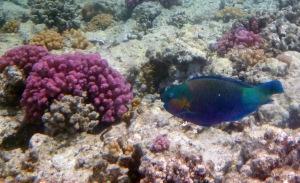 PG 2015 Parrotfish I