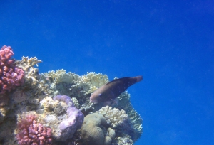 Red Sea Parrotfish