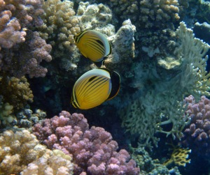 The Exquisite Butterflyfish in the Red Sea_5