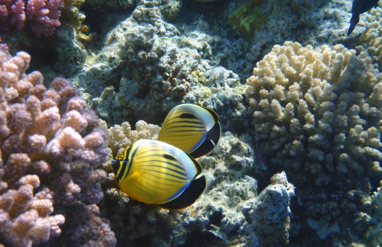 The Exquisite Butterflyfish in the Red Sea_4
