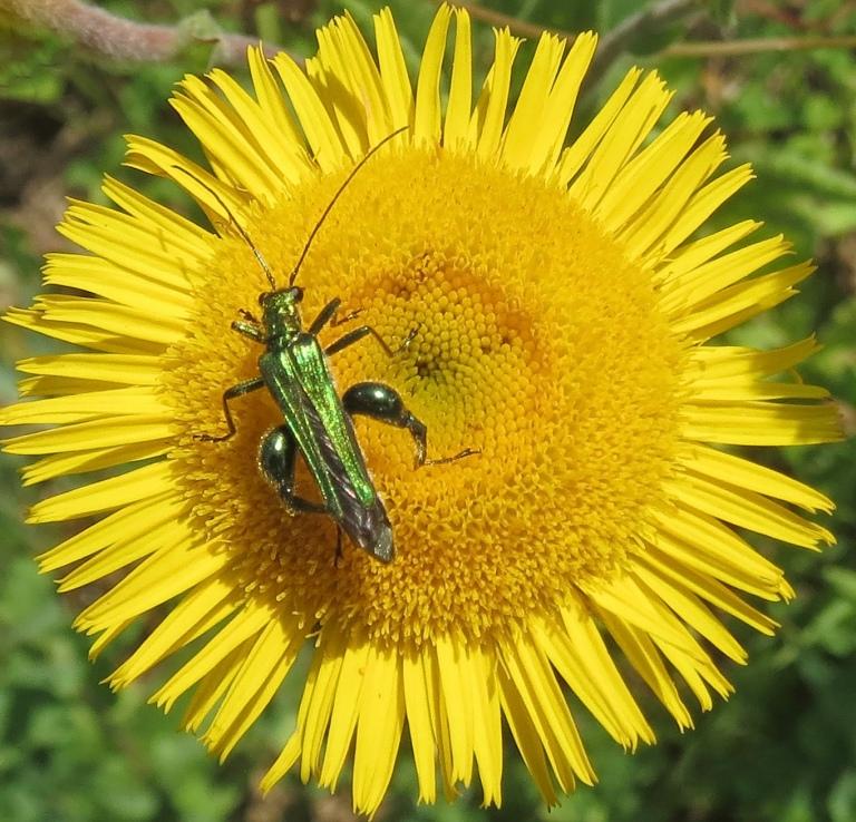 Italian insect