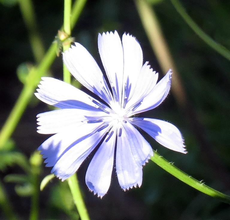 Italian wild flower